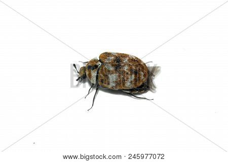 Lateral Perspective Of A Tiny Carpet Beetle (anthrenus Verbasci) Adult Insect Isolated Over A White