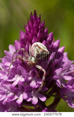 Crab Spider (thomisus Onustus) Hiding In Plain Sight, Camouflaged On A Wild Pyramidal Orchid (anacam