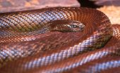 An adult inland taipan (Oxyuranus microlepidotus), the most venomous snake in the world, photographed in Victoria, Australia. poster