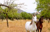 Brown and white horses at Majorca mediterranean field in Spain poster