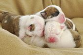 newborn puppies - english bulldog puppies in a pile -  one week old poster
