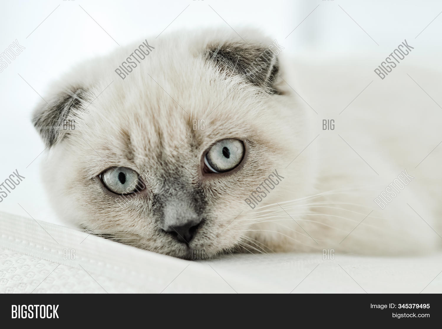 White Scottish Fold Image Photo Free Trial Bigstock