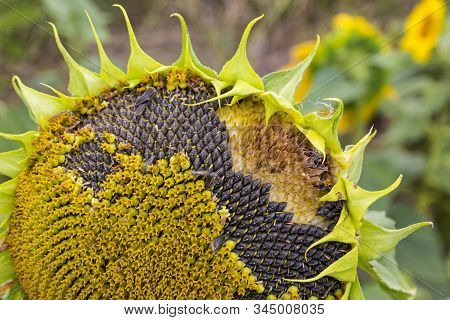 Close-up Sunflower With Seeds On A Meadow. Sunflowers Natural Background. Sunflower Details