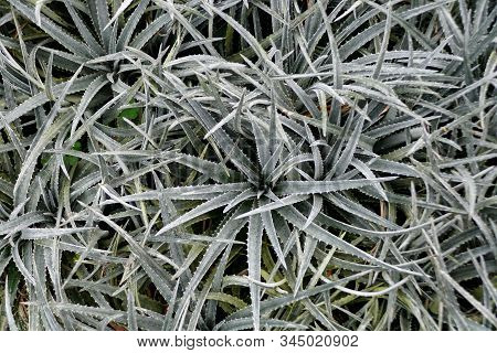 Pale Green Dyckia 'nickel Silver' Plants