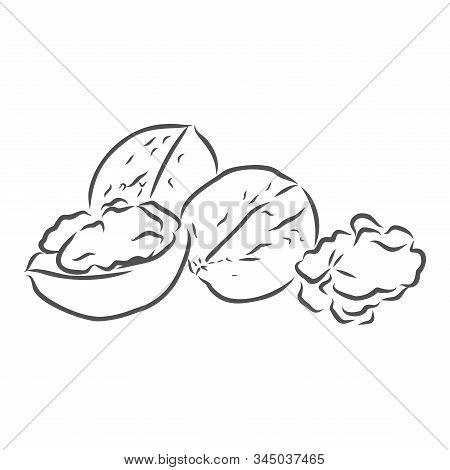 Walnuts Vector Illustration Hand Drawn, Healthy Food