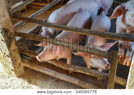 Young Piglets In A Barn On A Peasant Farmstead