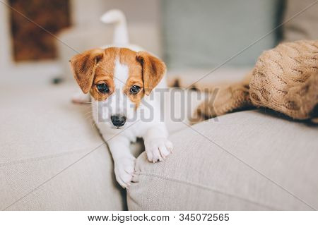 Adorable Puppy Jack Russell Terrier Playing On The Sofa. Portrait Of A Little Dog.