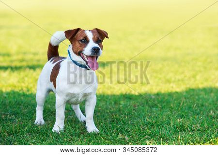 Dog Breed Jack Russell Terrier On The Green Grass