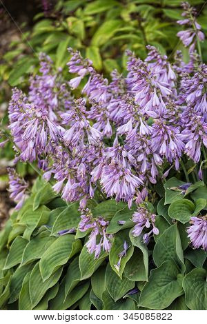 Blooming Hosta. Hosta Is A Decorative Abundantly Flowering Plant With Delicate Lilac Flowers.