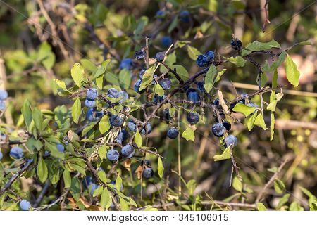 The Wild Blackthorn (prunus Spinosa) With Fruits Growing And Matures In The Mountains On A Summer Da