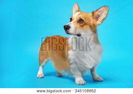 Cute Ginger And White Dog Of Welsh Corgi Pembroke Breed, Standing On Bright Blue Background. Funny F
