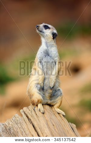 The Meerkat Or Suricate (suricata Suricatta) Patrolling Near The Hole. Meerkat Standing In The Morni