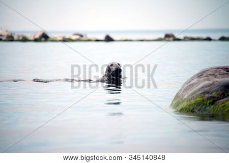 Sea Lion Or Harbor Seal-phoca Vitulina-on The Scandinavian Cold Sea. Harbour Seals Population Thrivi