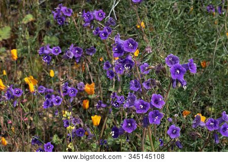 Bright Purple Violet Blue Vibrant Vivid Golden Canterbury Bells, Seasonal Spring Native Plant, Wildf