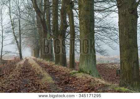 A Forest Road Among A Row Of Trees In The Morning Fog. Unpaved Forest Road, Dirt Road. Large Old Oak