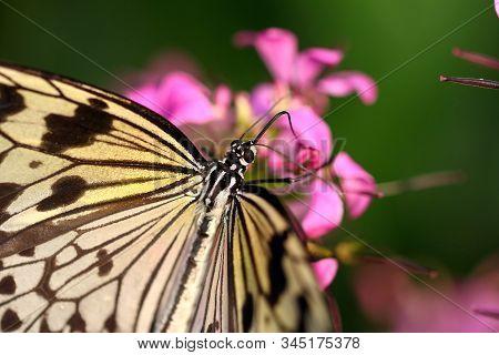 A Tree Nymph Butterfly Feeding On Nectar Using A Thin Tongue Like Proboscis