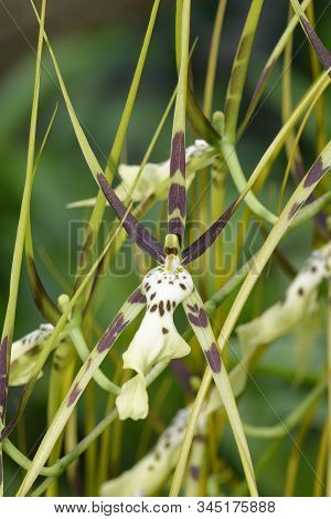 Brassia Hybrid Orchid