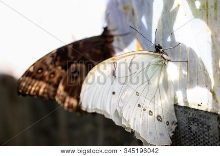 A White Morpho And Blue Morpho Butterflies Roosting On The Edge Of Plastic Sheeting