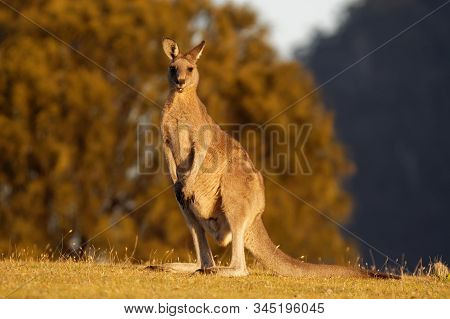 Macropus Giganteus - Eastern Grey Kangaroo Marsupial Found In Eastern Third Of Australia, With A Pop