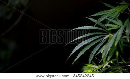 The Backlit, Evening Light Cannabis Leavesshadow And Light.openwork Sheet Of Hemp.a Branch Of Hemp I