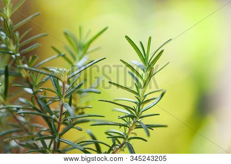 Organic Rosemary Plant Growing In The Garden For Extracts Essential Oil / Fresh Rosemary Herbs Natur