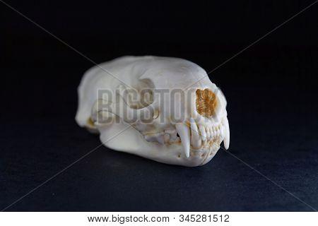 Skull Of A European Polecat, Mustela Putorius