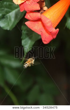 Honey Bee and Flower