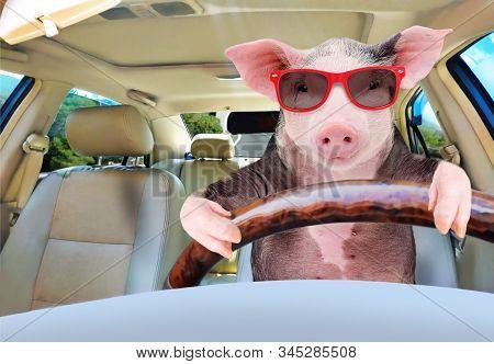Portrait Of A Funny Pig Driving A Car
