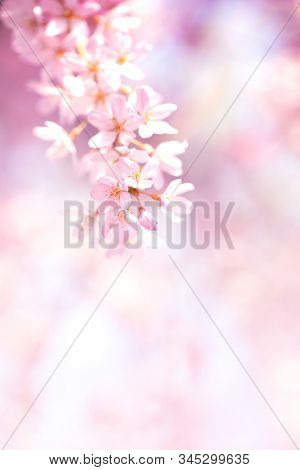 Spring cherry blossoms in full bloom with dreamy soft pink background. Shallow depth of field.