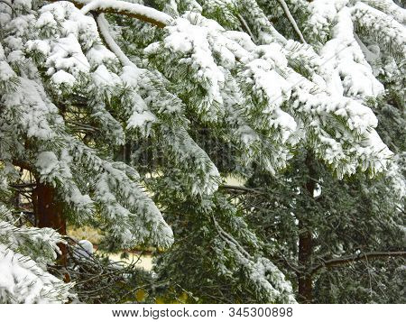 Luxurious Fluffy Pine Branches Under The Snow
