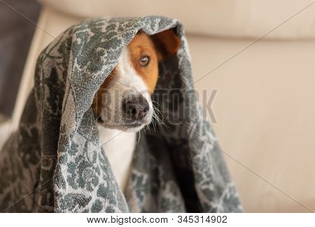 Indoor Portrait Of Basenji Dog Hiding Under Coverlet While Sitting In A Chair