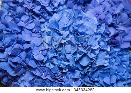 Blue Hydrangea Hydrangea Macrophylla Or Hortensia Flower With Dew In Slight Color Variations Ranging