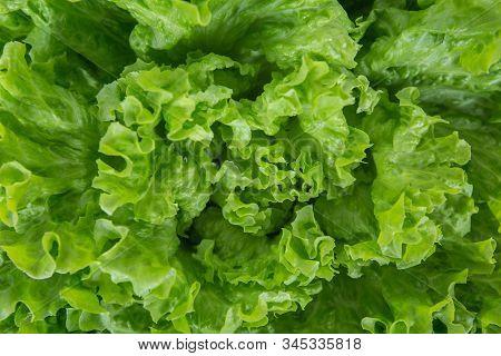 Close Up Bunch Of Fresh, Green Batavia Lettuce Salad. Crinkled Leaves Bio Crop Food, Farm Garden Veg