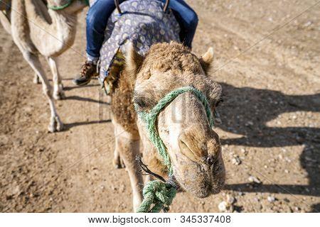 Riding A Dromedary Camel On Agafay Desert , Marrakech, Morocco