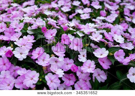 Flowerbed Of Delicate Pink Medium-sized Flowers. Background Image.