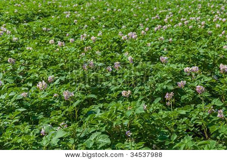 Colorful Field With Purple Blooming Potato Plants
