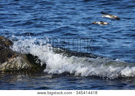 A Couple Of Goosanders Fly Across The Coast. Rock And Cliffs Along The Shore. The Sea In The Backgro