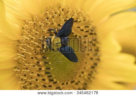 Bumblebee Collects Pollen From Sunflower.close-up Of A Fluffy Bumblebee On A Yellow Flower.