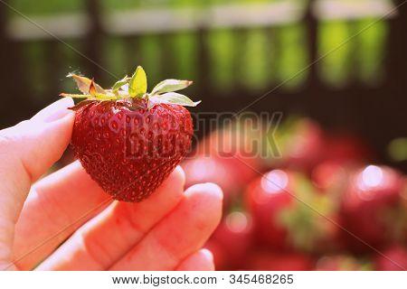 Harvesting Fresh Strawberries In June. Sweet Red Strawberry. Strawberry Farm Box With Ripe Berry. Ma
