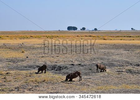 A Group Of Warthogs In Chobe National Park