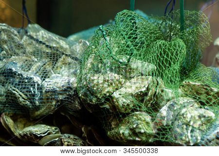 Oysters In Netting, Just Caught, Oysters In Aquarium. Harvest Of Catch Fresh Raw Closed Oysters.