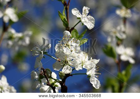 The Plum Branch Is Covered By A Considerable Quantity Is Dazzling White Flowers.