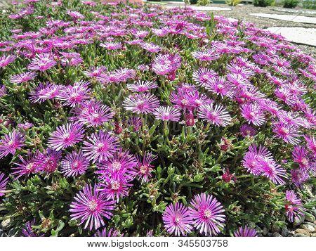 Delosperma Is A Large And Diverse Genus Of Succulent Subshrubs. Closeup Of A Succulent Purple Ice Pl