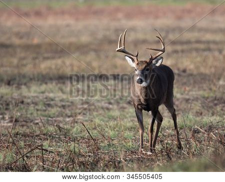 Large Whitetailed Deer Buck Moving Through An Open Meadow During The Rut In Great Smoky Mountains Na