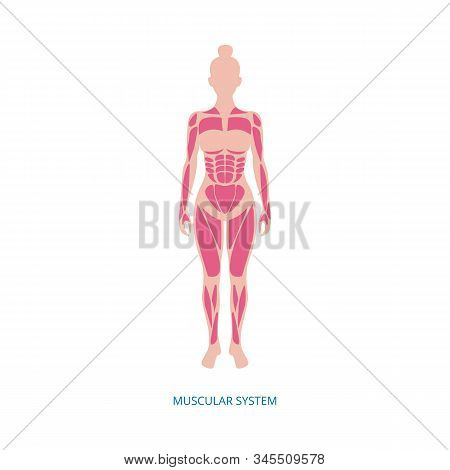 Muscular System - Muscles Anatomy Of Female Body Isolated On White Background.