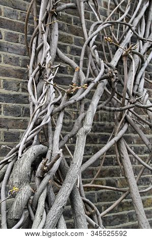 Clambering Tree At The Old Brick Wall