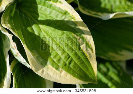 Green Bush Hosta. Hosta Leaves. Nature Background Image. Beautiful Hosta Leaves Background