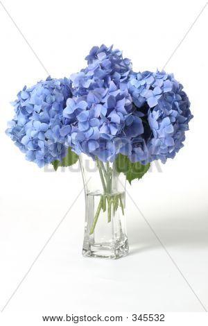 Ortensie In vaso