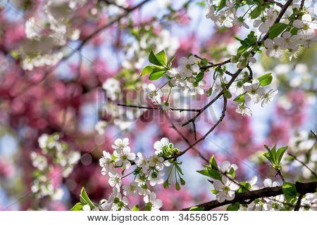 White Apple Blossom On The Pink Background. Beautiful Springtime Nature Scenery In The Garden. Sunny