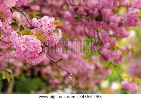 Cherry Blossom In The Garden. Amazing Springtime Nature Scenery. Close Up Of Blooming Twigs Of Sakur